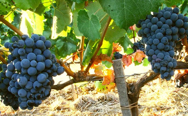 Wine Tour in Bolgheri | Visit to the wineries where fine wine Sassicaia is produced